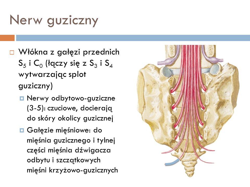 Nerw guziczny Włókna z gałęzi przednich S5 i C0 (łączy się z S3 i S4 wytwarzając splot guziczny)