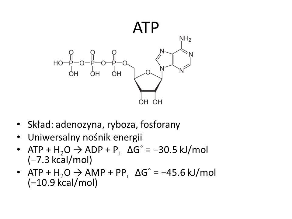 ATP Skład: adenozyna, ryboza, fosforany Uniwersalny nośnik energii