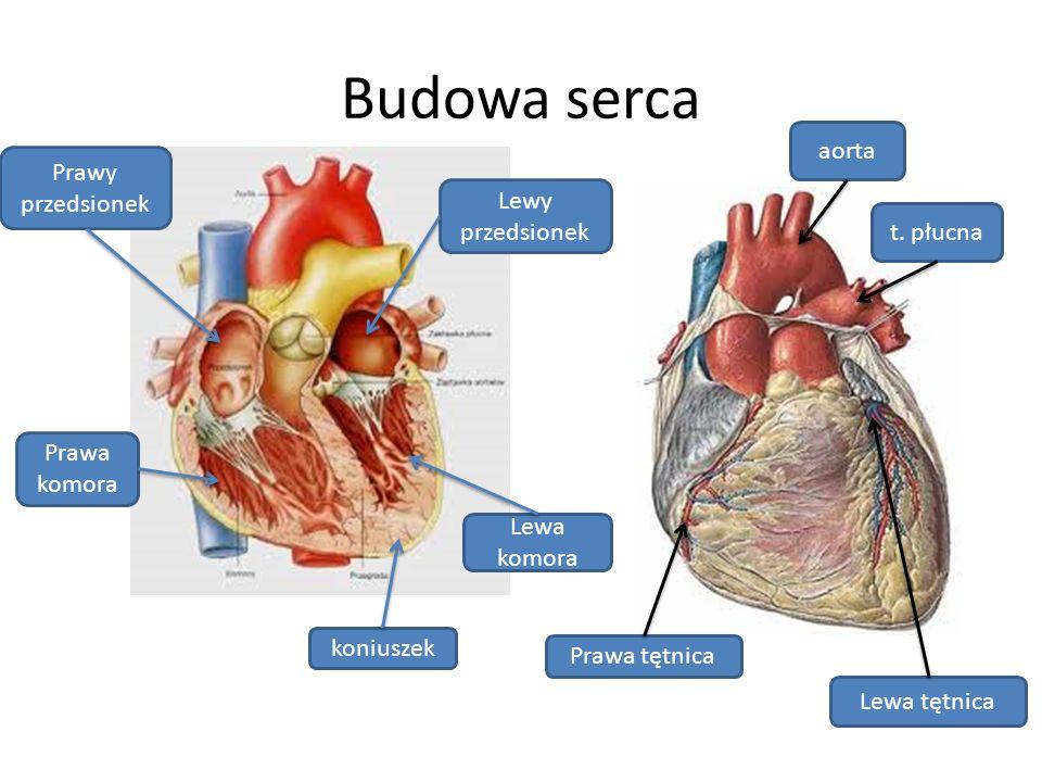 Budowa serca aorta Prawy przedsionek Lewy przedsionek t. płucna