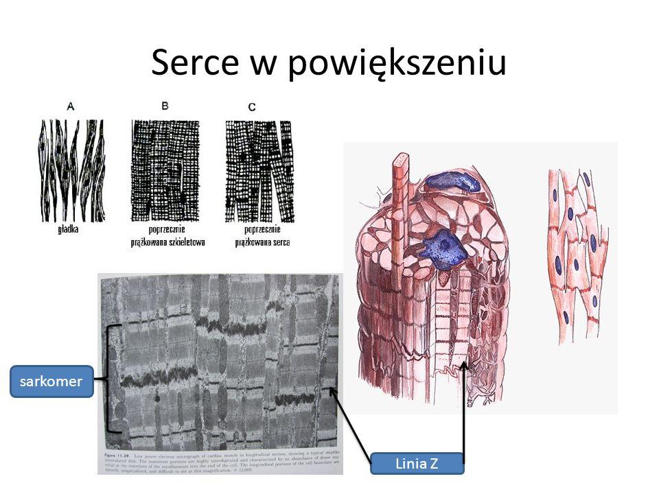 Serce w powiększeniu sarkomer Linia Z