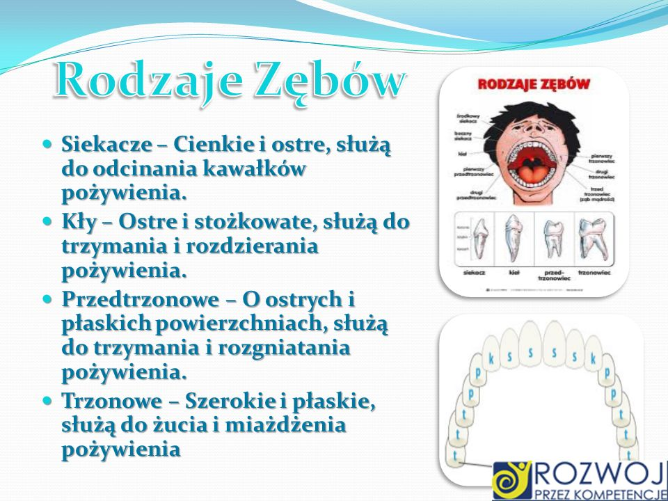 Rodzaje Zębów Siekacze – Cienkie i ostre, służą do odcinania kawałków pożywienia.