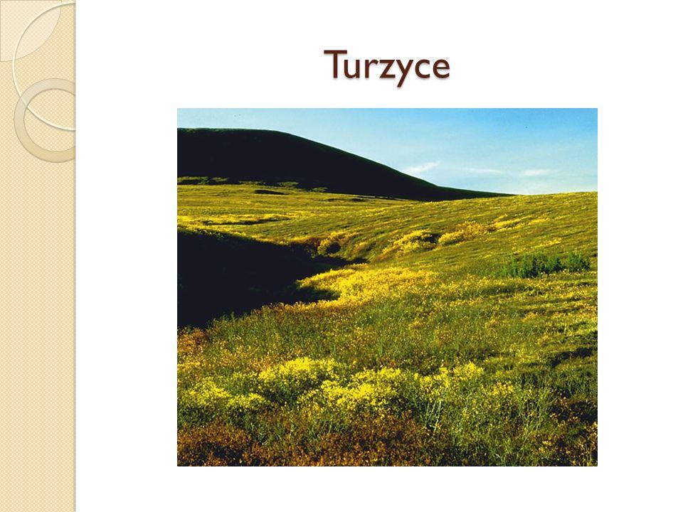 Turzyce