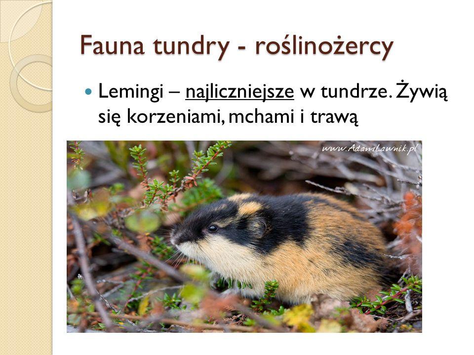 Fauna tundry - roślinożercy