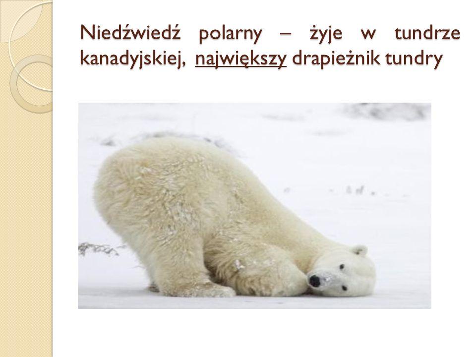 Niedźwiedź polarny – żyje w tundrze kanadyjskiej, największy drapieżnik tundry