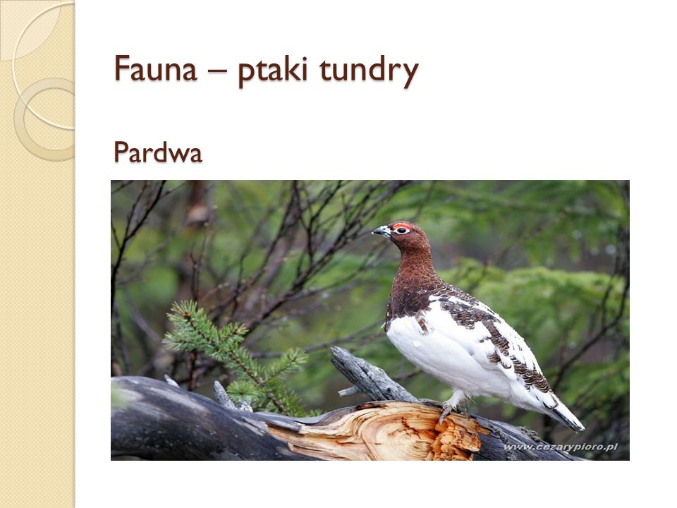 Fauna – ptaki tundry Pardwa