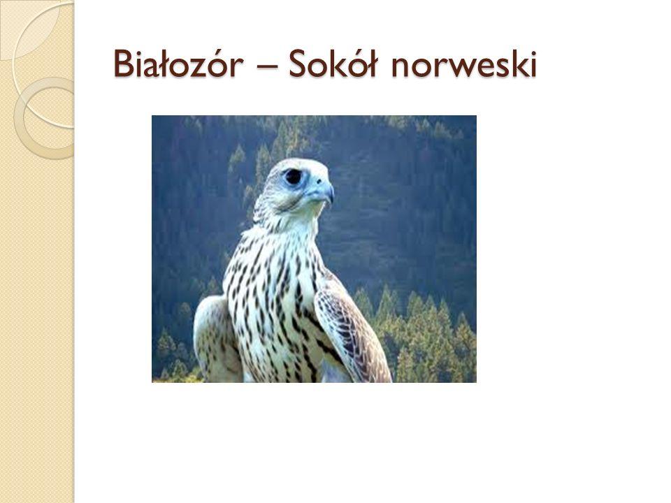 Białozór – Sokół norweski