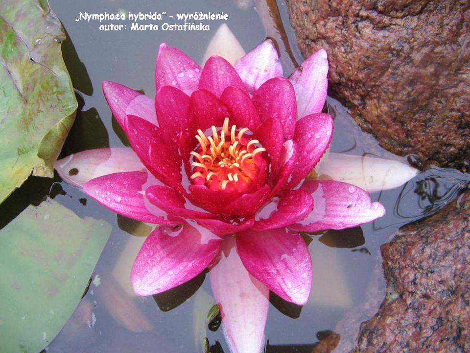 """""""Nymphaea hybrida – wyróżnienie"""