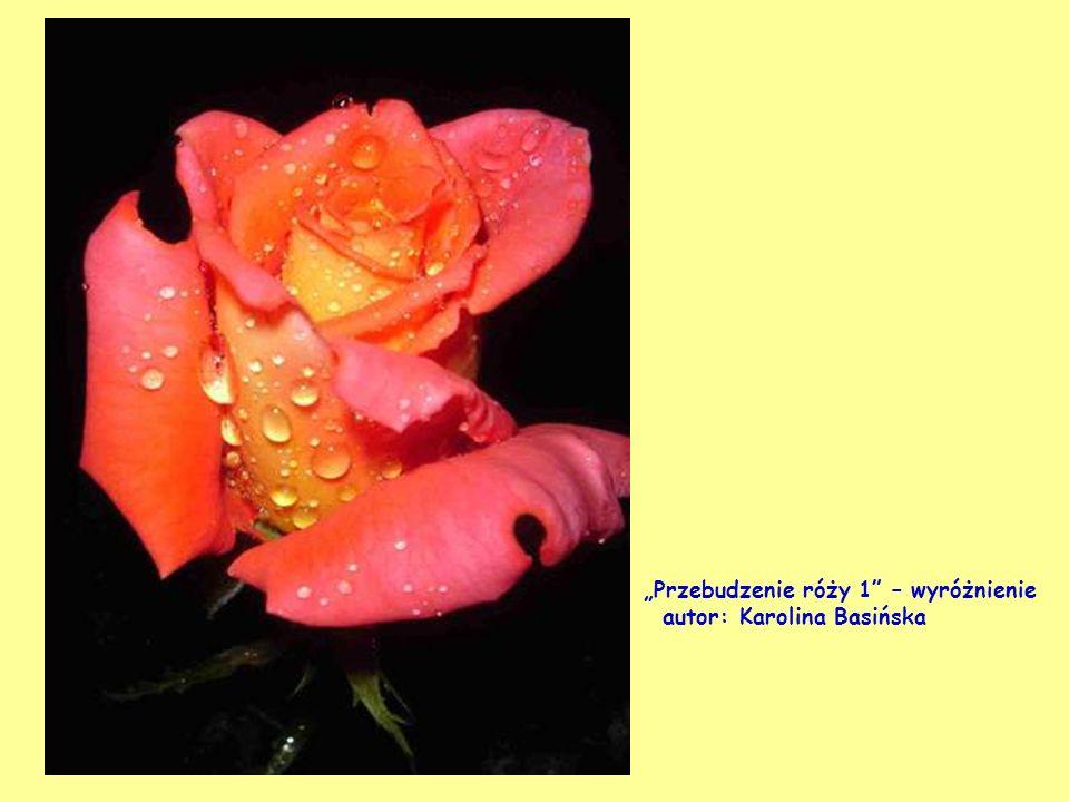 """""""Przebudzenie róży 1 – wyróżnienie"""