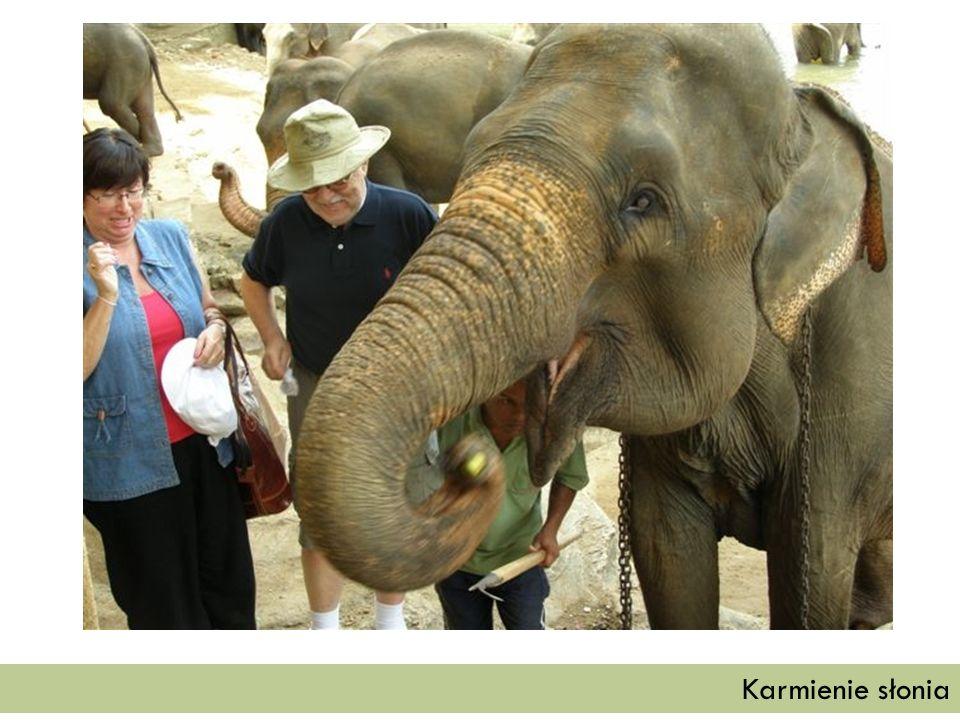 Karmienie słonia