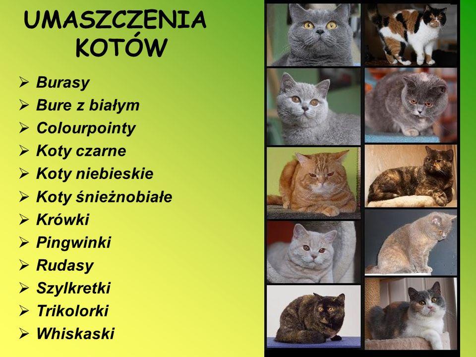 UMASZCZENIA KOTÓW Burasy Bure z białym Colourpointy Koty czarne