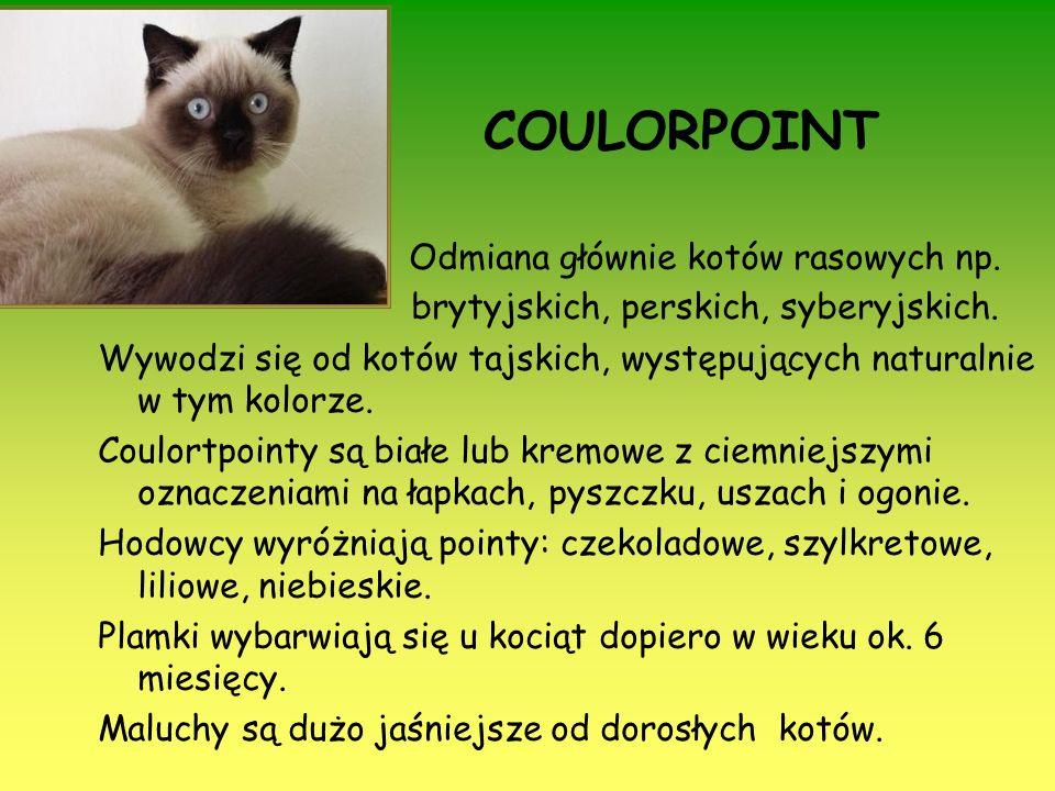 COULORPOINT Odmiana głównie kotów rasowych np.