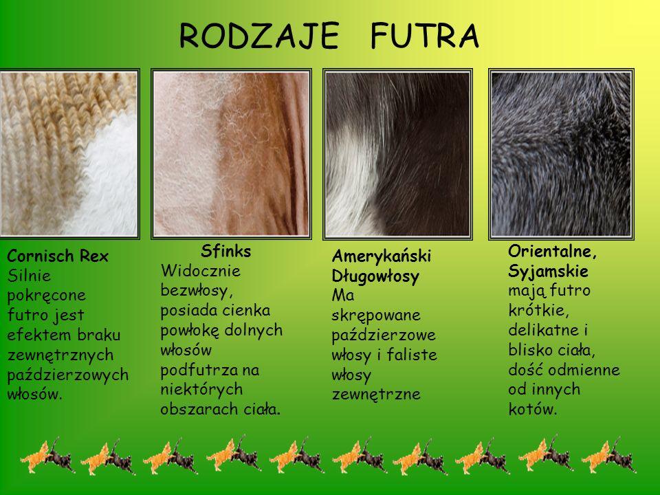 RODZAJE FUTRA Sfinks. Widocznie bezwłosy, posiada cienka powłokę dolnych włosów podfutrza na niektórych obszarach ciała.