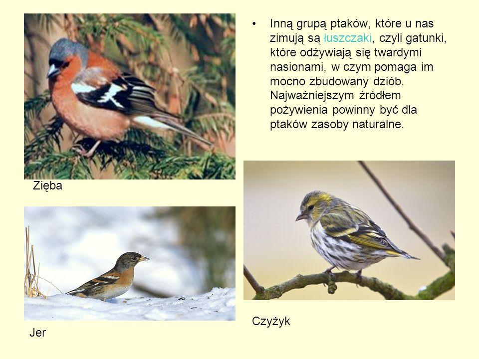 Inną grupą ptaków, które u nas zimują są łuszczaki, czyli gatunki, które odżywiają się twardymi nasionami, w czym pomaga im mocno zbudowany dziób. Najważniejszym źródłem pożywienia powinny być dla ptaków zasoby naturalne.