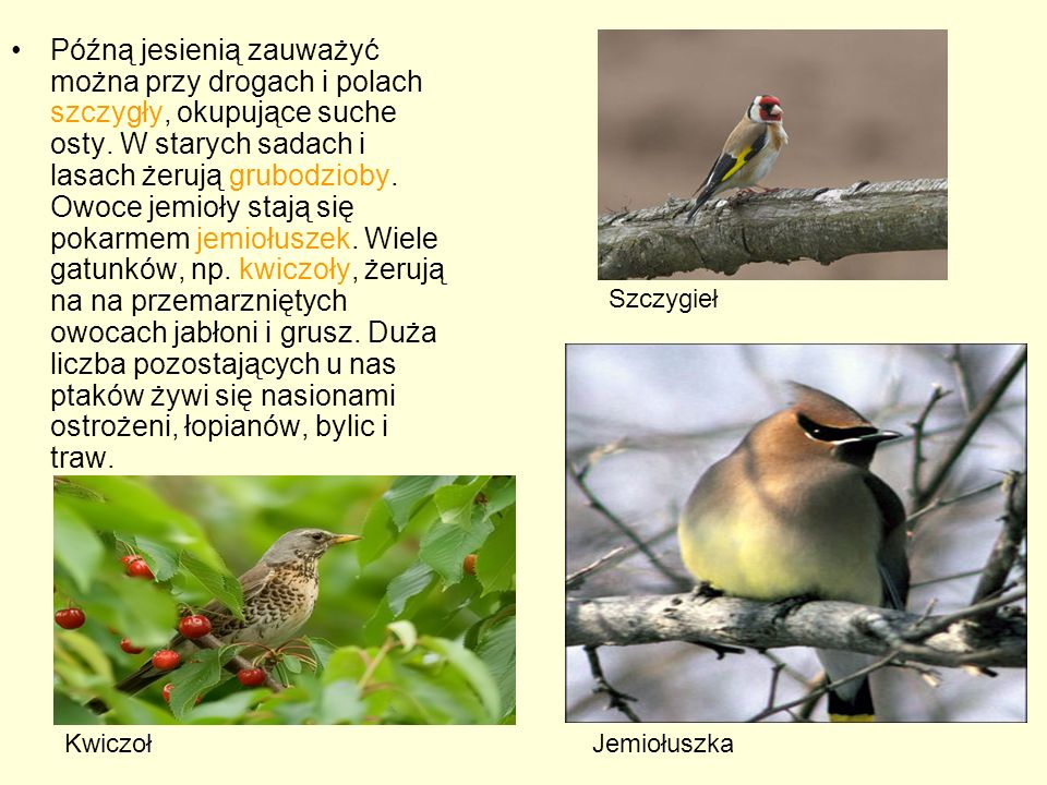 Późną jesienią zauważyć można przy drogach i polach szczygły, okupujące suche osty. W starych sadach i lasach żerują grubodzioby. Owoce jemioły stają się pokarmem jemiołuszek. Wiele gatunków, np. kwiczoły, żerują na na przemarzniętych owocach jabłoni i grusz. Duża liczba pozostających u nas ptaków żywi się nasionami ostrożeni, łopianów, bylic i traw.