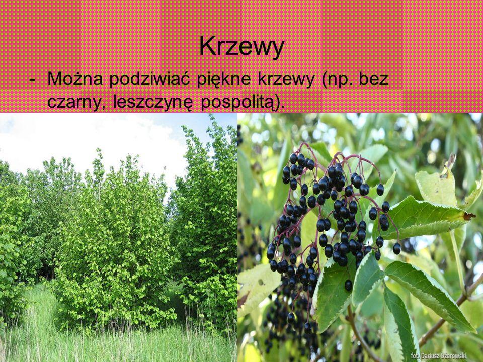 Krzewy Można podziwiać piękne krzewy (np. bez czarny, leszczynę pospolitą).
