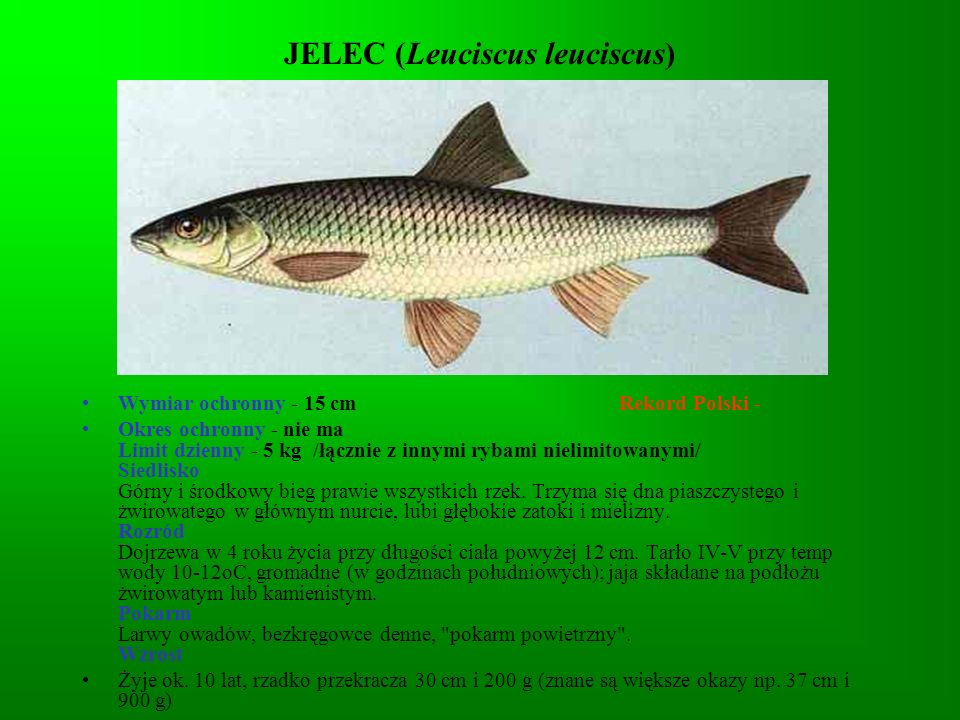 JELEC (Leuciscus leuciscus)