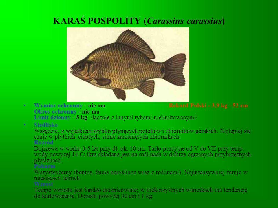 KARAŚ POSPOLITY (Carassius carassius)