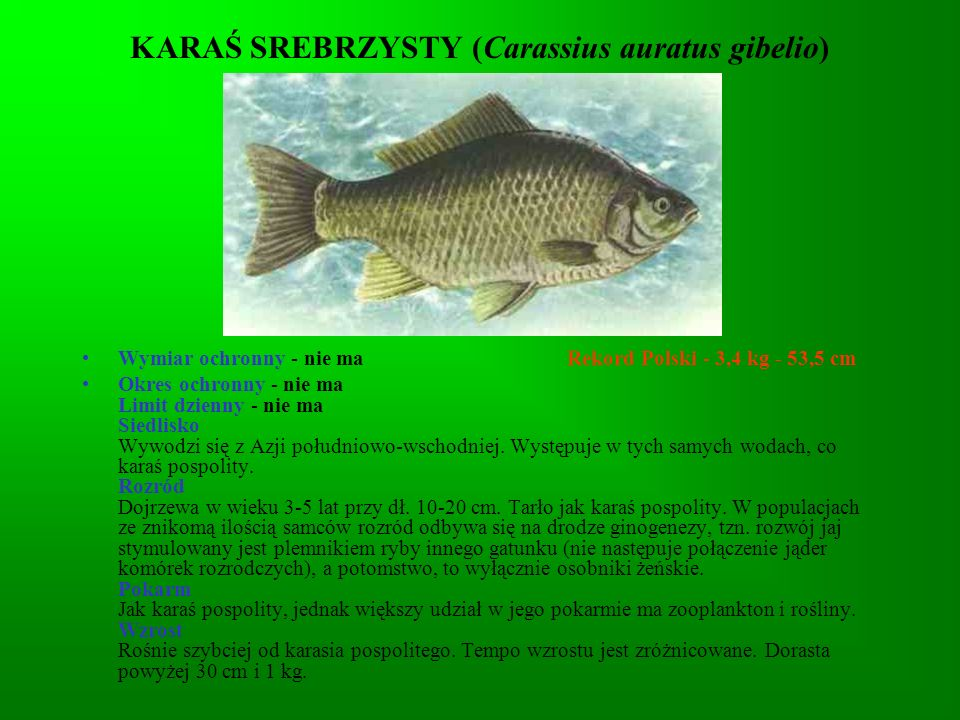 KARAŚ SREBRZYSTY (Carassius auratus gibelio)
