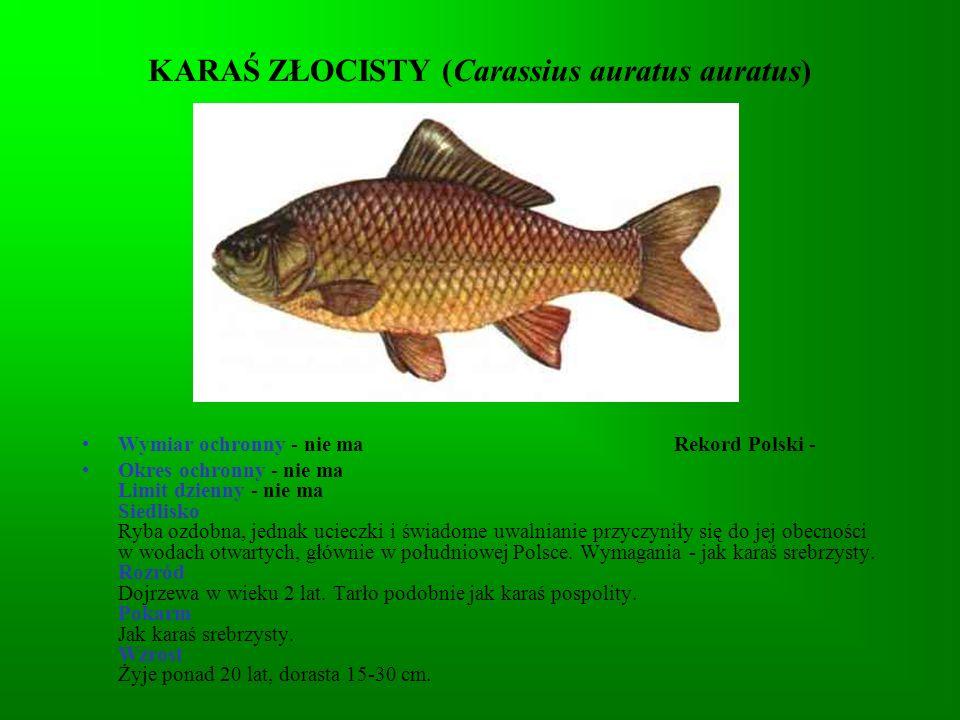 KARAŚ ZŁOCISTY (Carassius auratus auratus)