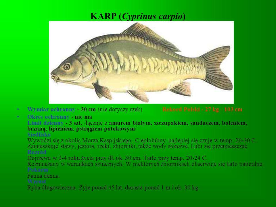 KARP (Cyprinus carpio)