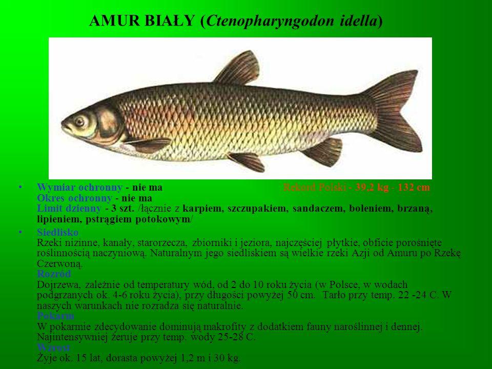 AMUR BIAŁY (Ctenopharyngodon idella)