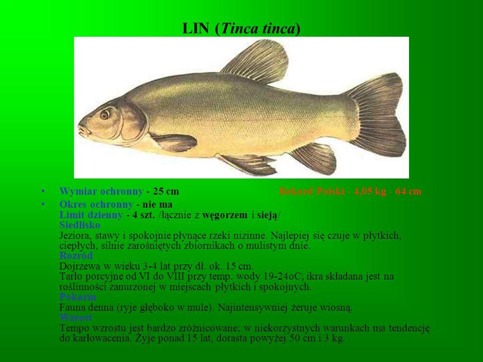 LIN (Tinca tinca)Wymiar ochronny - 25 cm Rekord Polski - 4,05 kg - 64 cm.