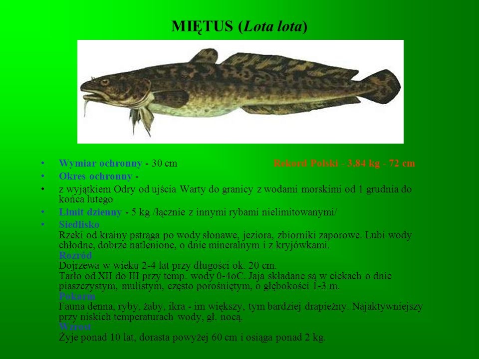 MIĘTUS (Lota lota) Wymiar ochronny - 30 cm Rekord Polski - 3,84 kg - 72 cm.