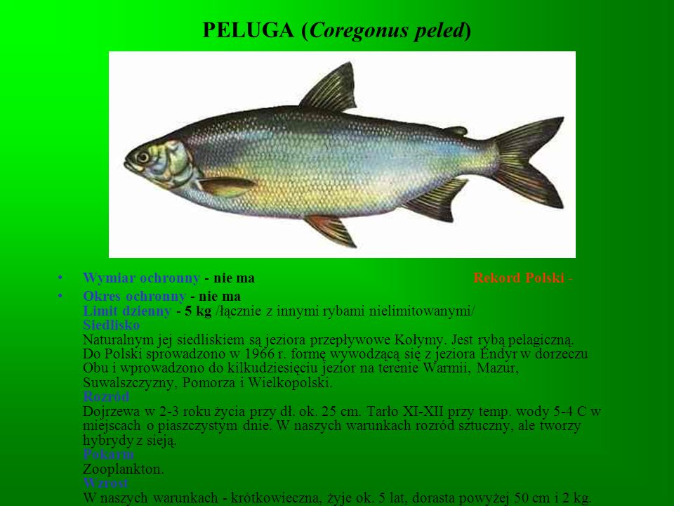 PELUGA (Coregonus peled)