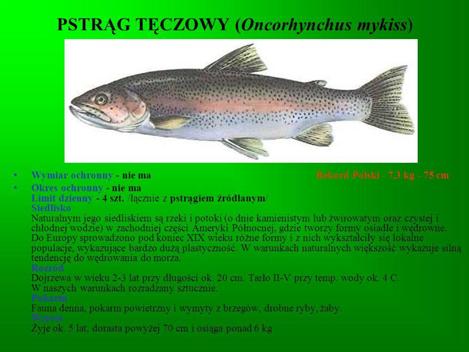 PSTRĄG TĘCZOWY (Oncorhynchus mykiss)