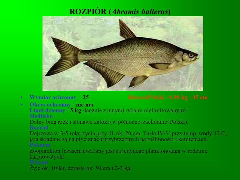 ROZPIÓR (Abramis ballerus)