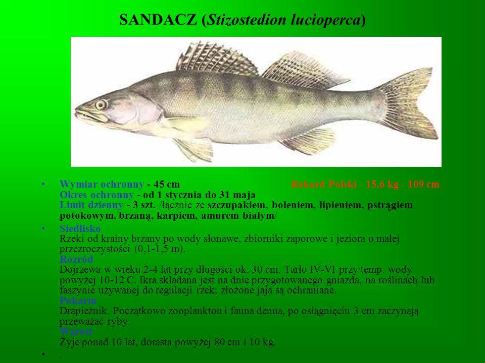 SANDACZ (Stizostedion lucioperca)