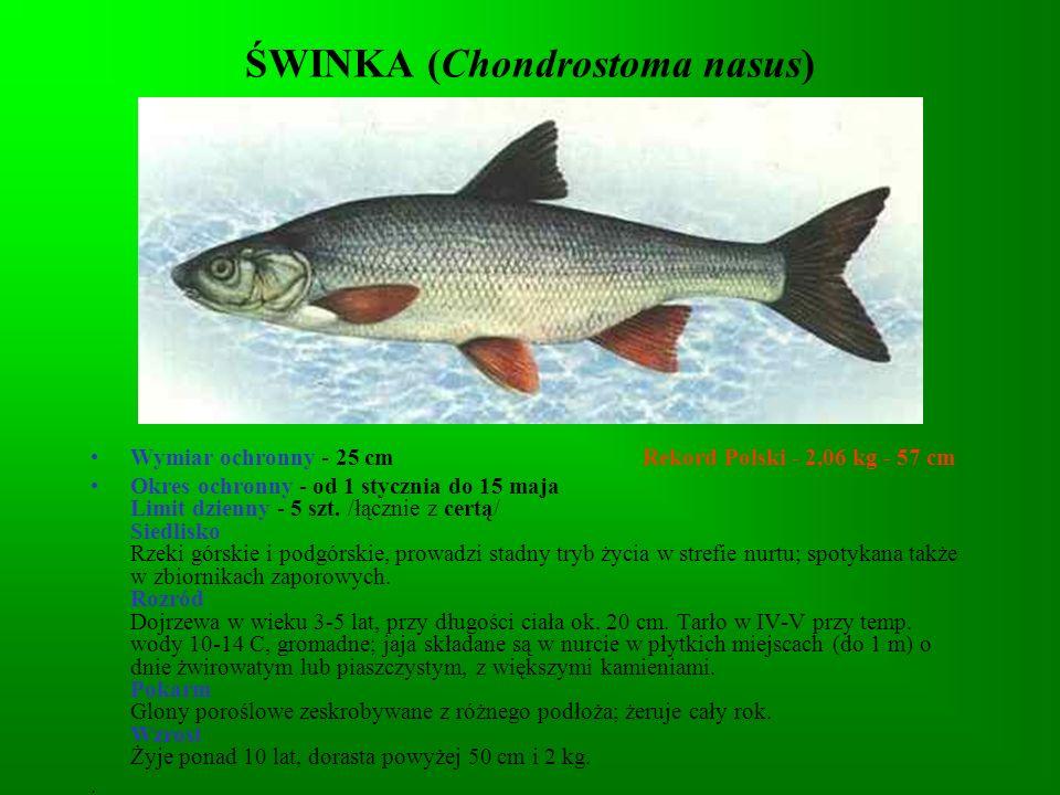 ŚWINKA (Chondrostoma nasus)