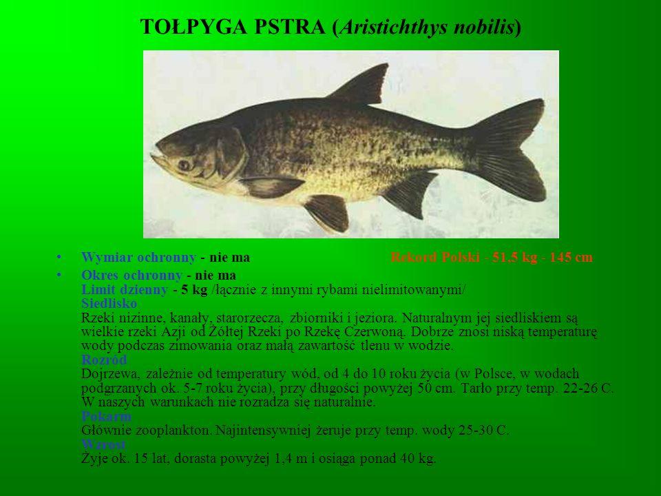 TOŁPYGA PSTRA (Aristichthys nobilis)