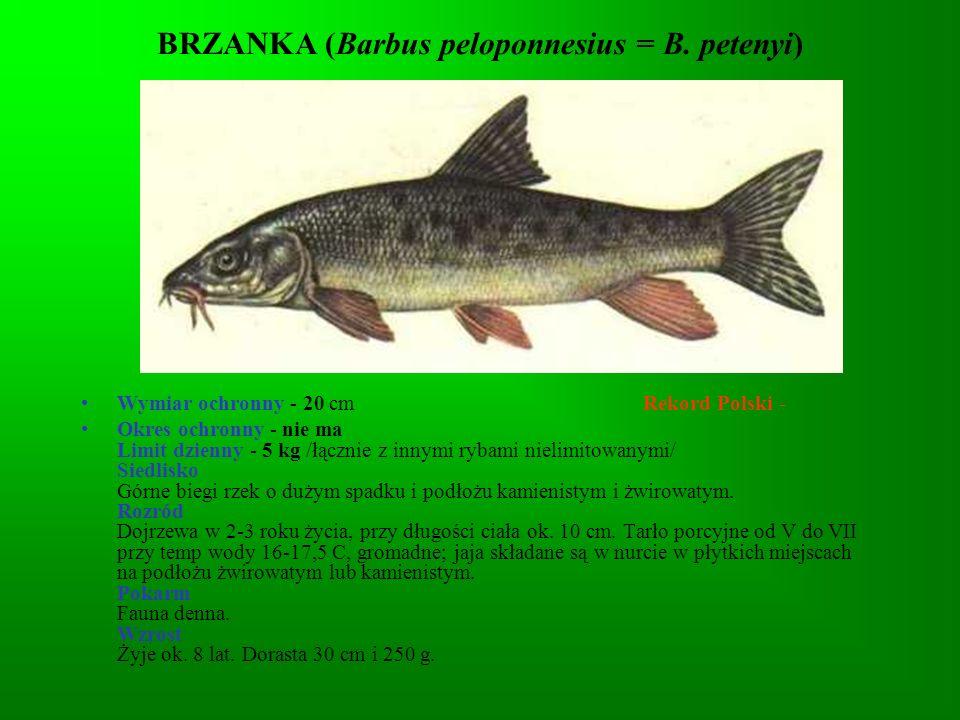 BRZANKA (Barbus peloponnesius = B. petenyi)