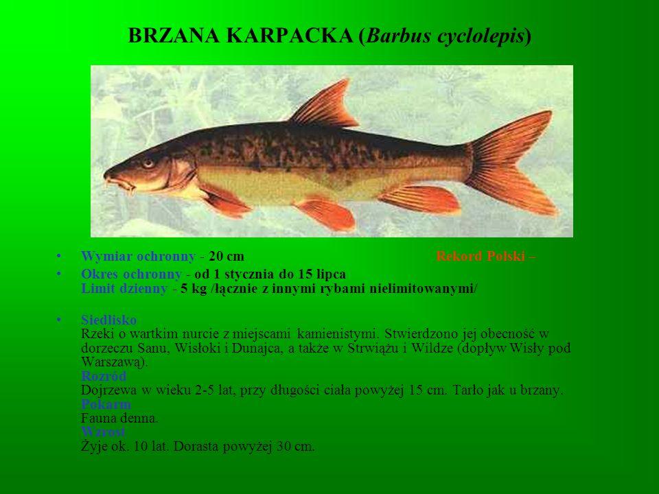 BRZANA KARPACKA (Barbus cyclolepis)