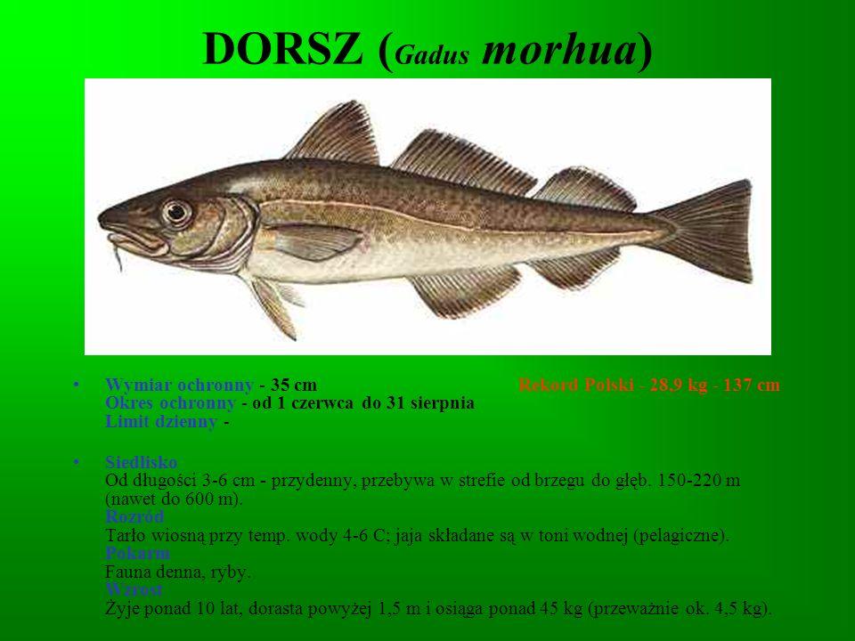 DORSZ (Gadus morhua)
