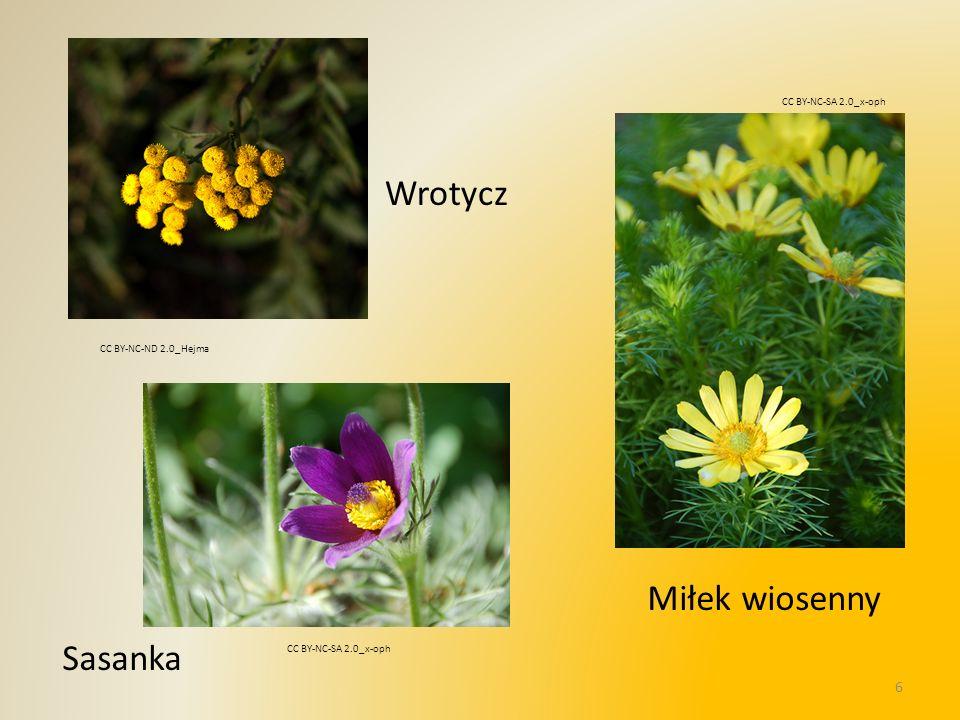 Wrotycz Miłek wiosenny Sasanka CC BY-NC-SA 2.0_x-oph