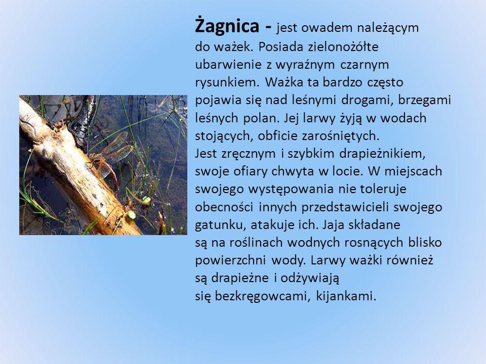 Żagnica - jest owadem należącym