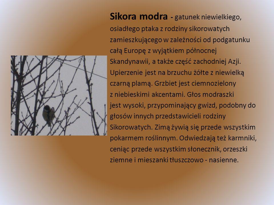 Sikora modra - gatunek niewielkiego,