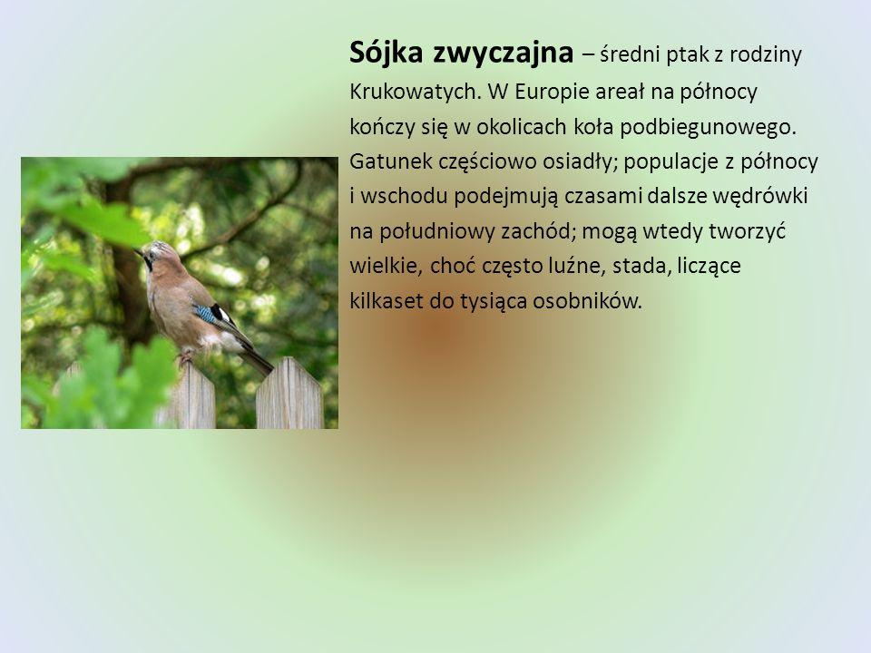 Sójka zwyczajna – średni ptak z rodziny