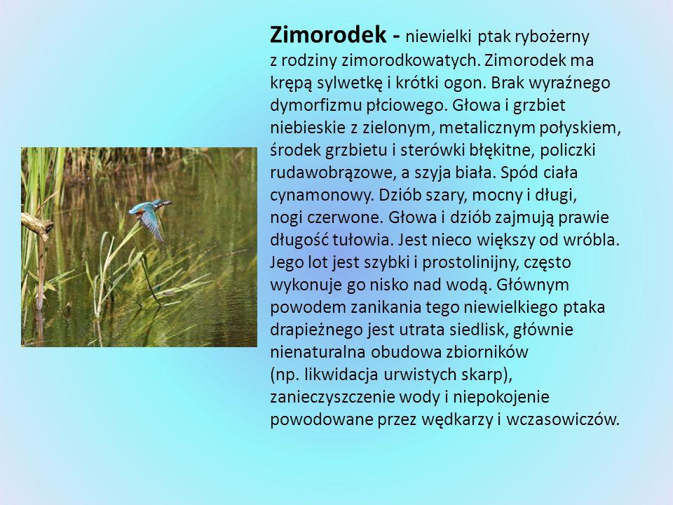 Zimorodek - niewielki ptak rybożerny