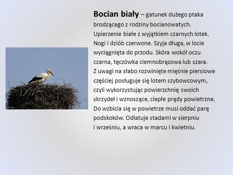 Bocian biały – gatunek dużego ptaka