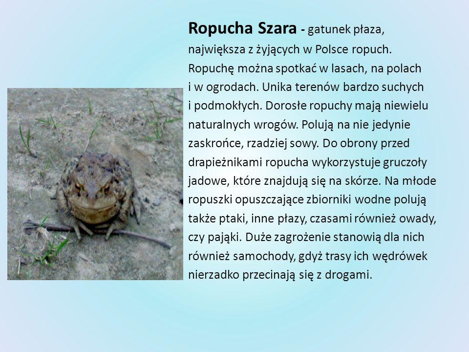 Ropucha Szara - gatunek płaza,