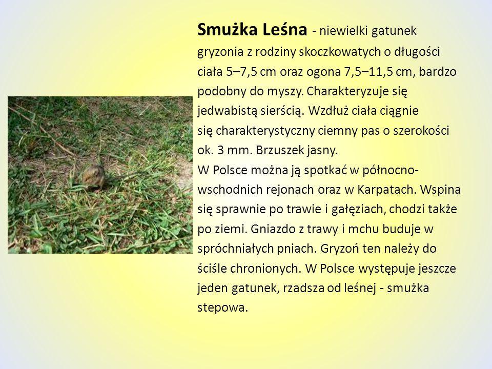 Smużka Leśna - niewielki gatunek