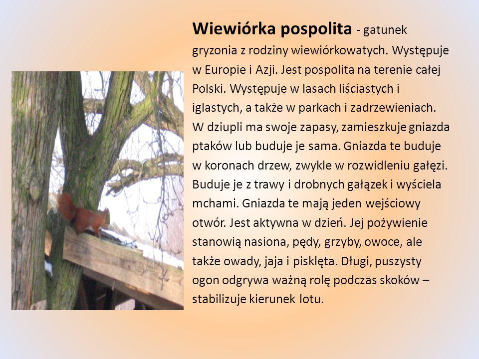 Wiewiórka pospolita - gatunek