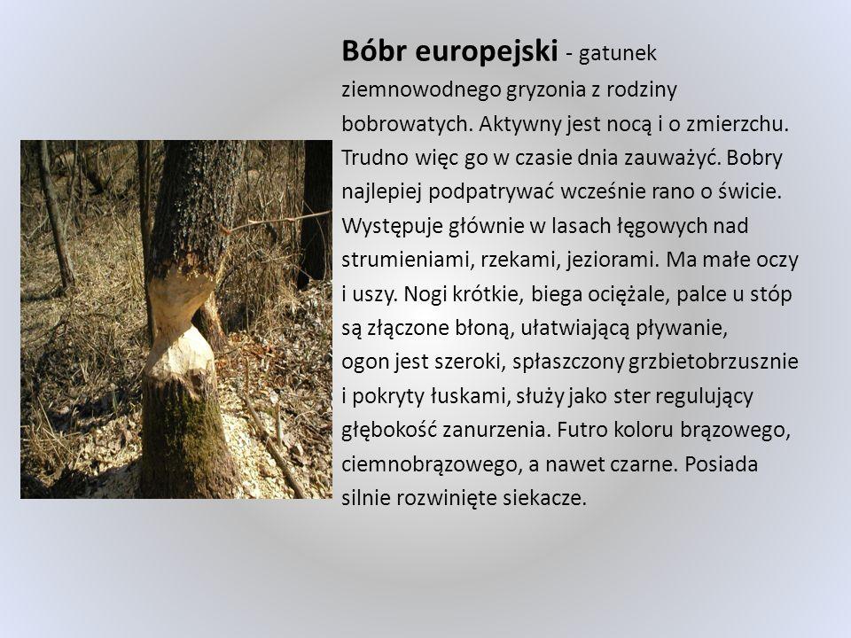 Bóbr europejski - gatunek