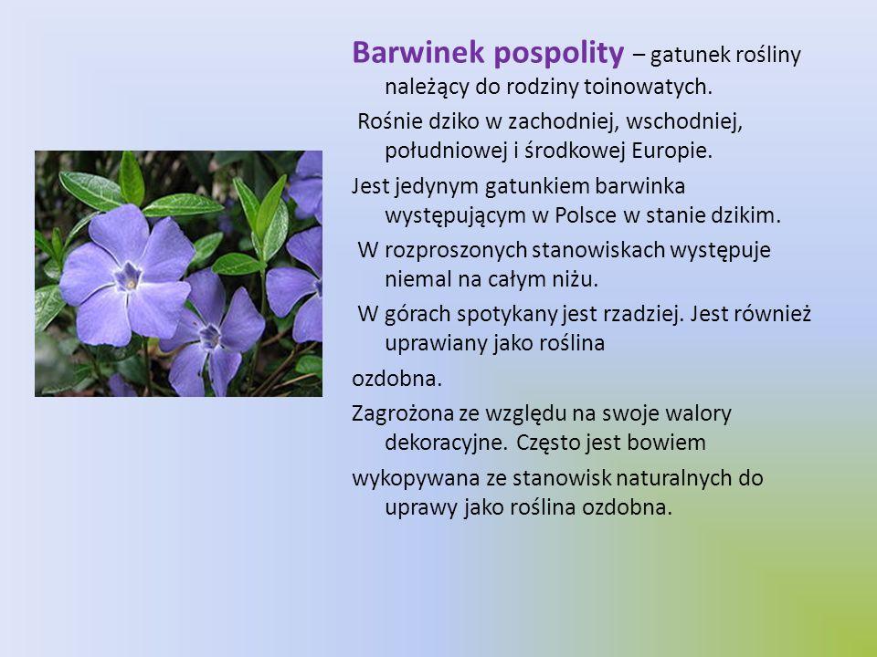 Barwinek pospolity – gatunek rośliny należący do rodziny toinowatych.