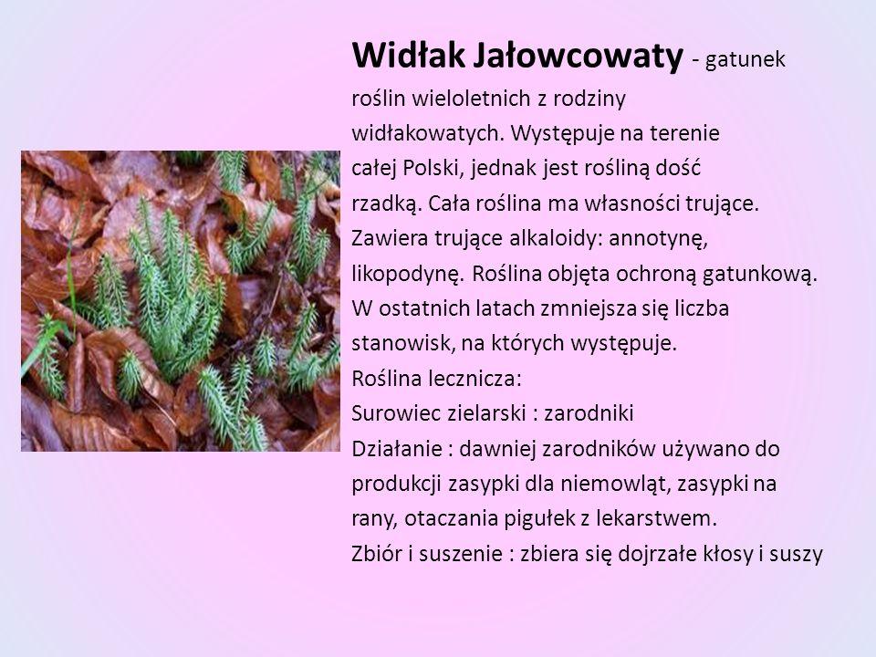 Widłak Jałowcowaty - gatunek