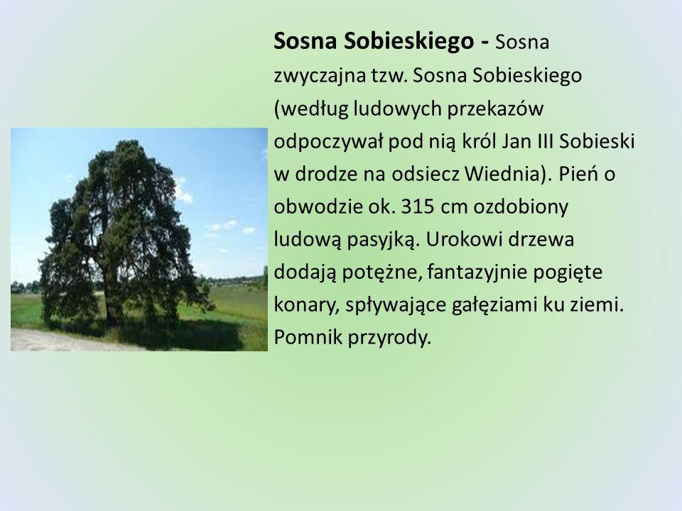 Sosna Sobieskiego - Sosna