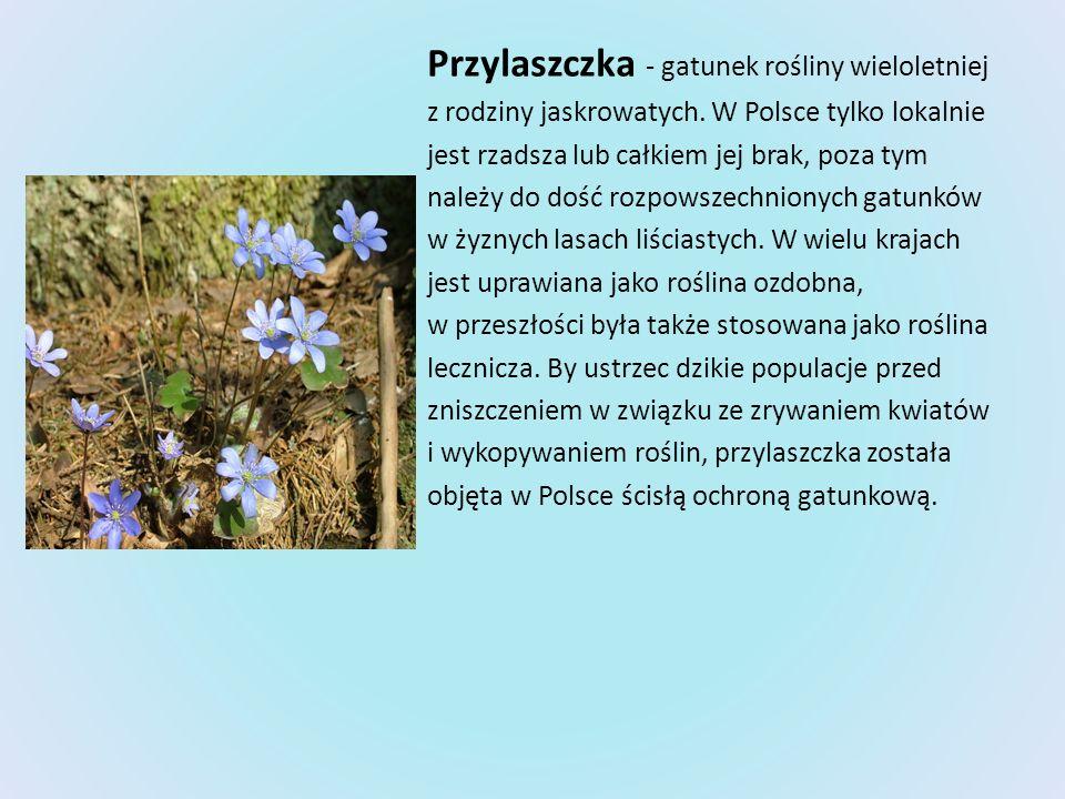 Przylaszczka - gatunek rośliny wieloletniej